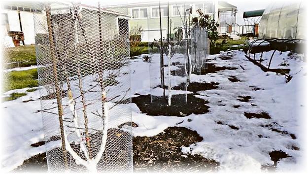 защищенное зимой дерево