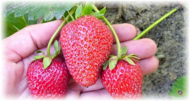 3 большие ягоды клубники