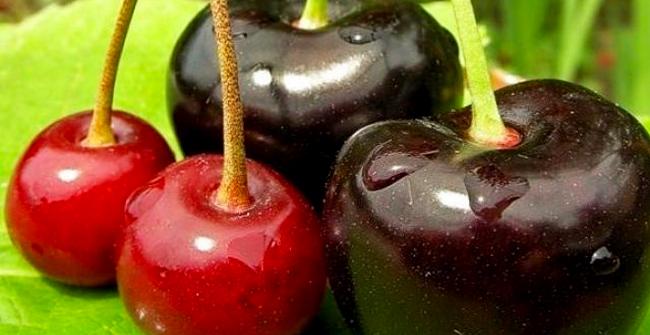 4 разные сорта вишни