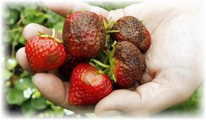 больные ягоды клубники