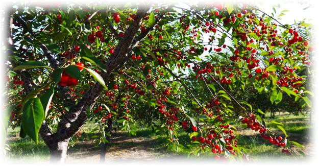 дерево черешни бычье сердце