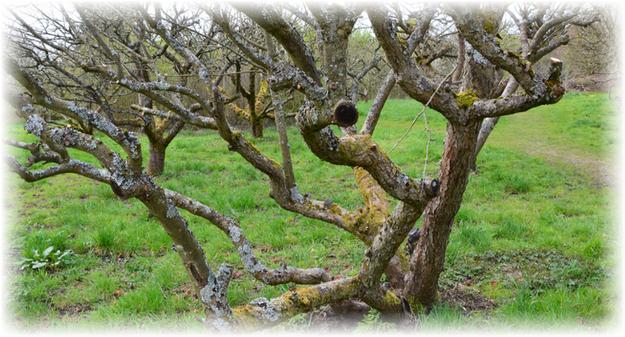дерево древней яблони