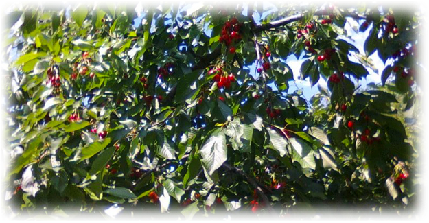 дерево вишни ревна