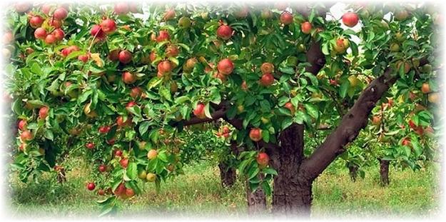 дерево яблони айдаред