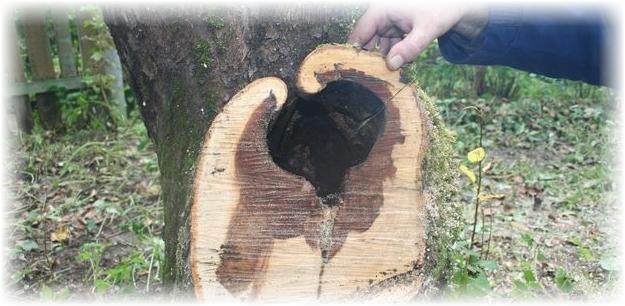 дупло в дереве яблони