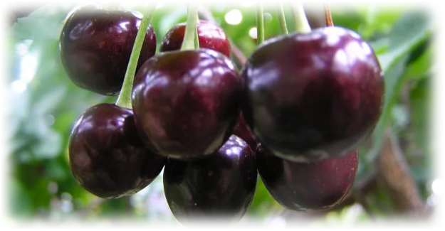 крупные плоды вишни
