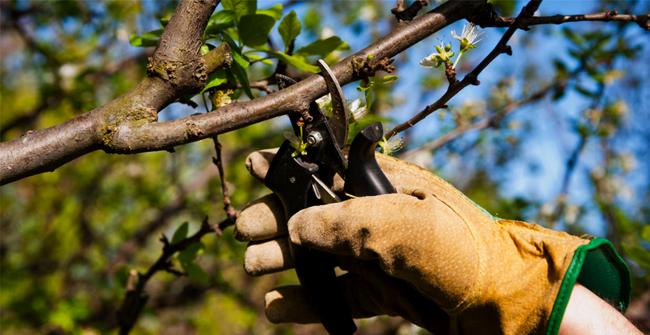 обрезка веток вишни