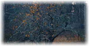 одинокое дерево яблони