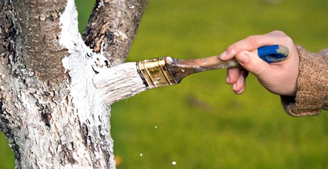 побелка дерева яблони