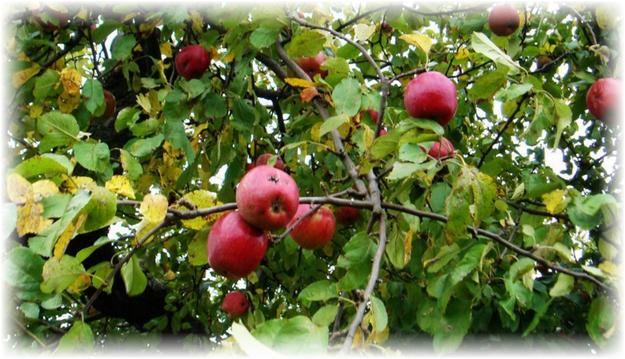 спелые яблоки на молодом дереве