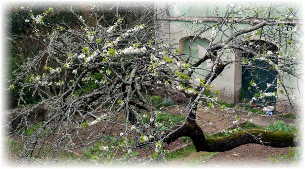 старая ветвь яблони