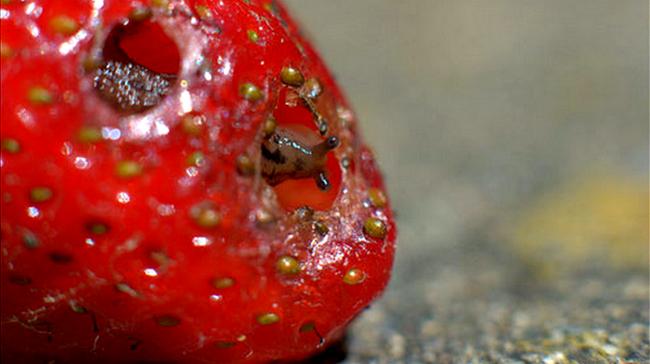 улитка в ягоде