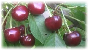вкусный сорт вишни верна