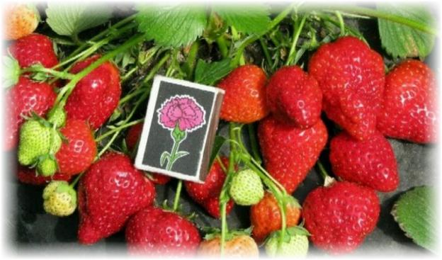 ягоды клубники альбион