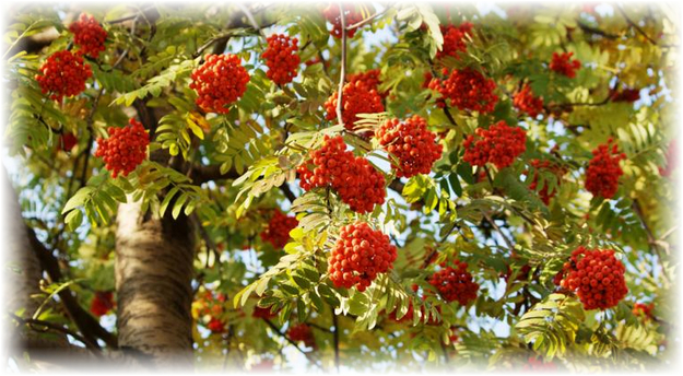 ягоды рябины на дереве