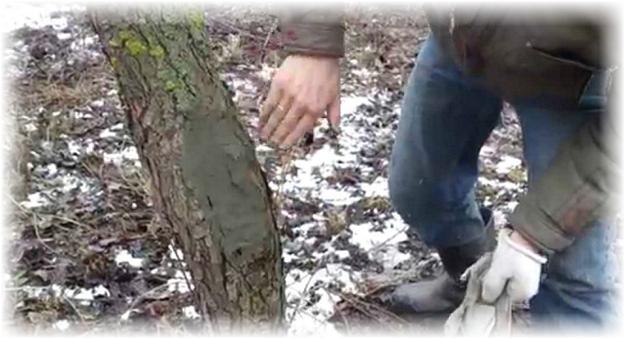 заделанное дупло в дереве яблони