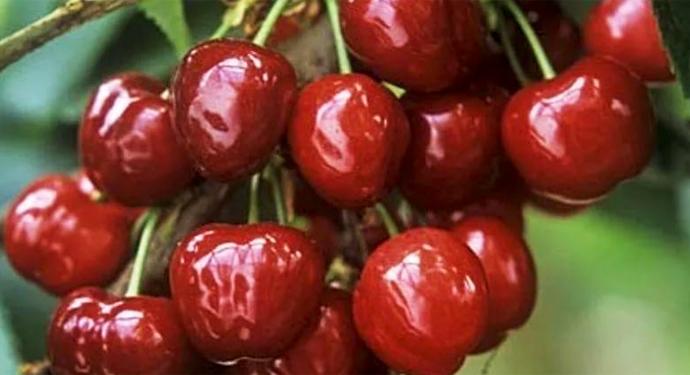 блестящие ягоды черешни
