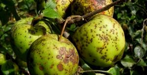 болезнь парша на яблоках