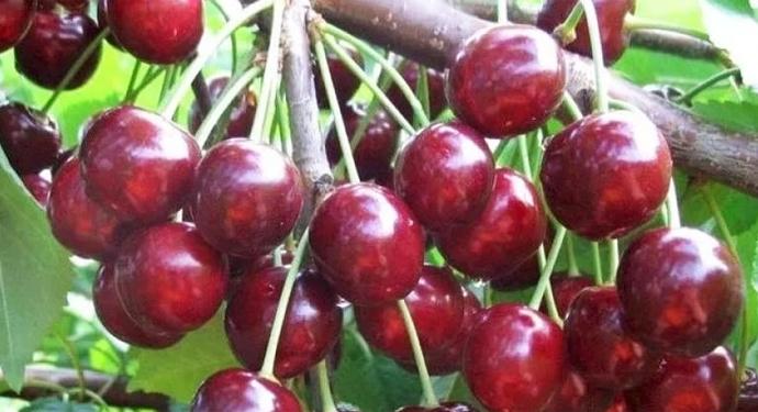 крупные ягоды черешни ипуть