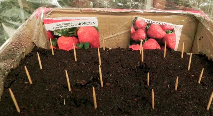 посаженные семена клубнички