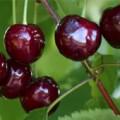 темные ягоды черешни