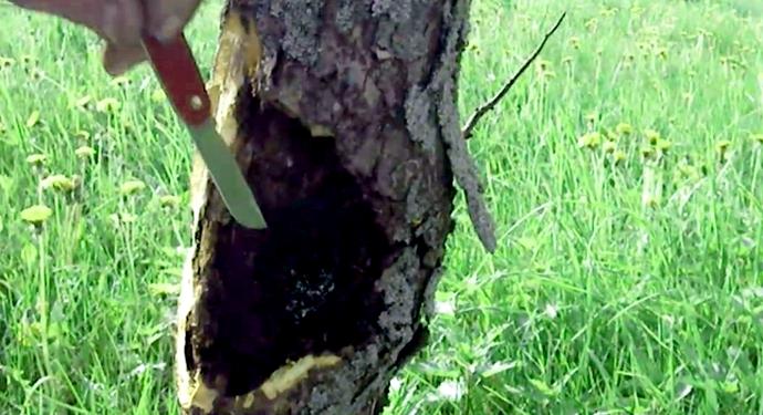 удаление черного рака с дерева