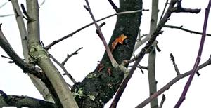 ветвь дерева заболевшего раком