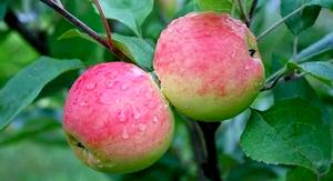 2 яблока грушовка московская