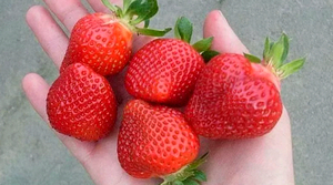 5 ягод клубники на ладоне