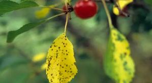 больные листочки вишни
