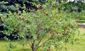 деревце черешни
