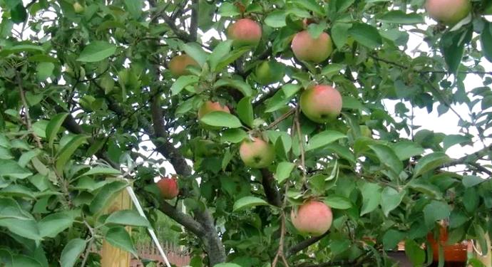 дерево яблони грушевка московская