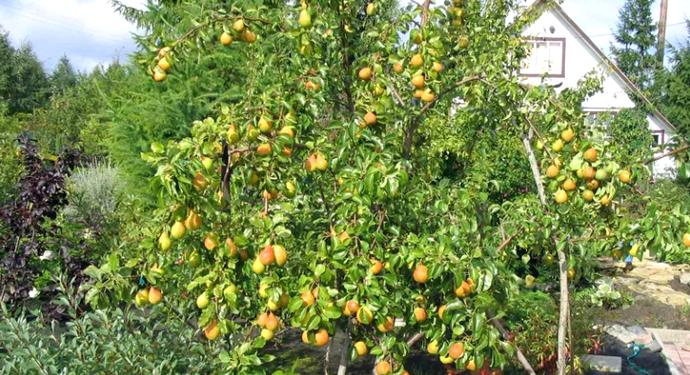 грушевое дерево на даче