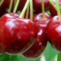 крупные ягоды вишни карина