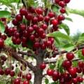 кучно растущие ягоды вишни