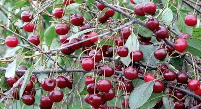 много ягод черешни