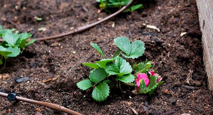 молодая клубника в огороде