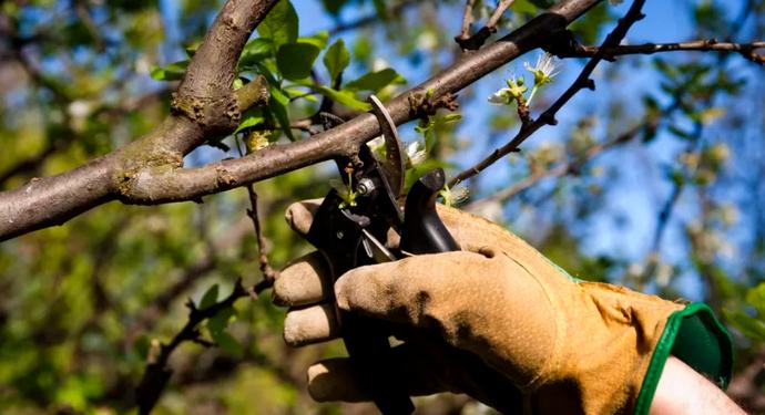 обрезание ветки у вишни