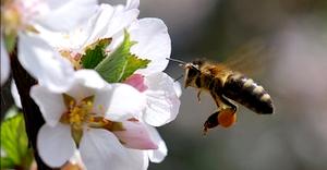 пчела опыляет цветок вишни