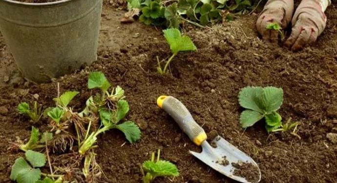 процесс посадки клубники