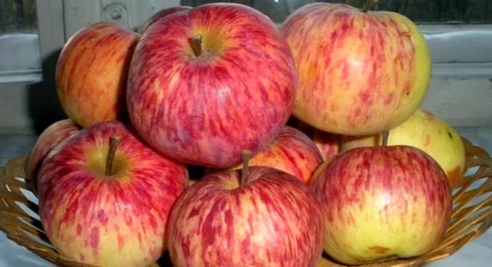 спелые яблоки грушевка