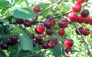 ягоды черешни сорта родина