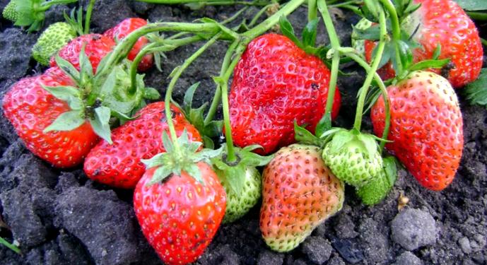 ягоды елизаветы 2