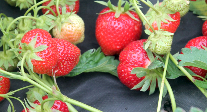 ягоды клубники на демонстрации