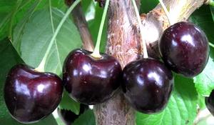 4 ягоды черный принц