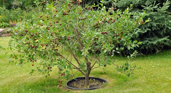 молодое дерево ягоды с черешни