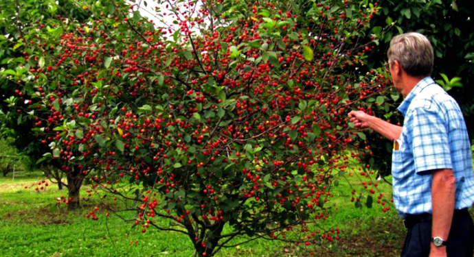 плодоносящая черешня
