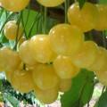 свисающие ягоды черешни