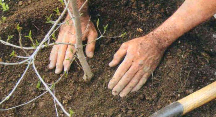 удобрение земли у молодого дерева