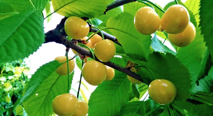 ягоды и листья черешни